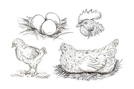 Vector chicken breeding hand drawn set.