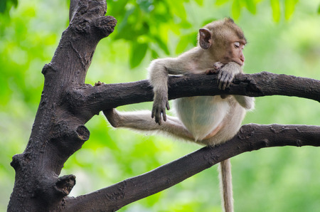 Monkey enjoy sleeping on the tree in the afternoon with funny and lazy position at Ratchaburi, Thailand, (Long-tailed macaque, Crab-eating macaque) Stock Photo