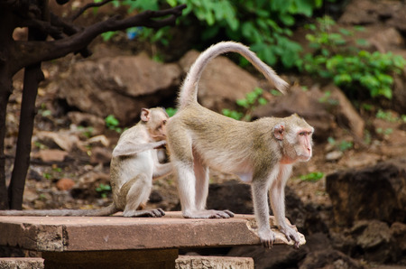 monkey grooming one another and young monkey looking at mom ass, Ratchaburi, Thailand (crab eating macaque) Imagens
