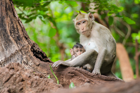 portrait of curious mother and young monkey looking at camera, Ratchaburi, Thailand, (crab eating macaque)
