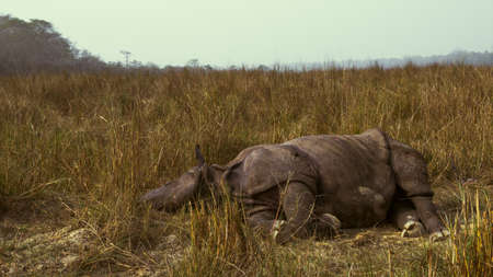 Wounded rhino lying into a grass in a jungle