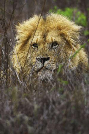lion in the kruger national park photo