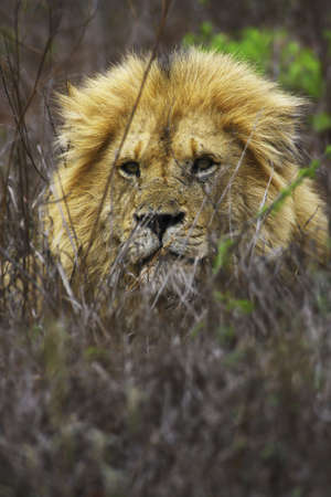 lion in the kruger national park photo