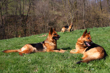 Group photo of three German shepherds photo