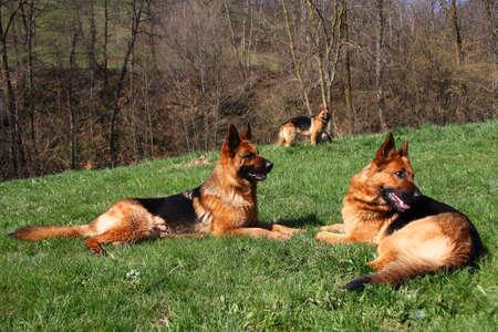 group photo: Group photo of three German shepherds