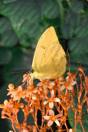 Yellow Brimstone Butterfly feeding on orange flowers photo