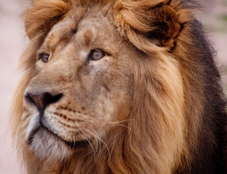 roar: Portrait of large male African lion