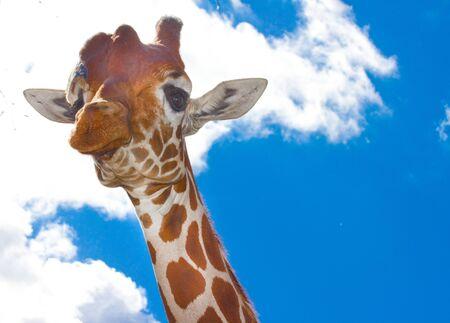 giraffa camelopardalis: Giraffe portrait on blue sky background