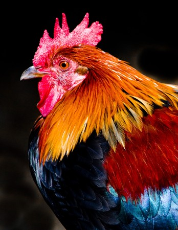 Beautiful rooster on black background