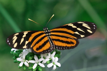 longwing: Tiger Longwing  Butterfly Stock Photo