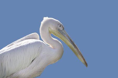 pelecanidae: White pelican side portrait. Pelecanus onocrotalus. Stock Photo