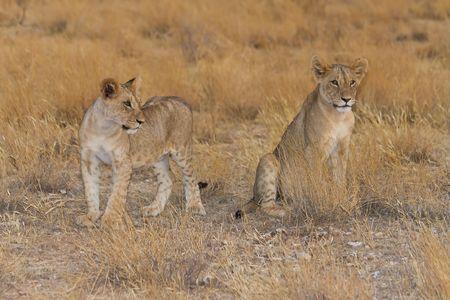 Two lion cubs  sit attentively in Samburu National reserve, Kenya. photo