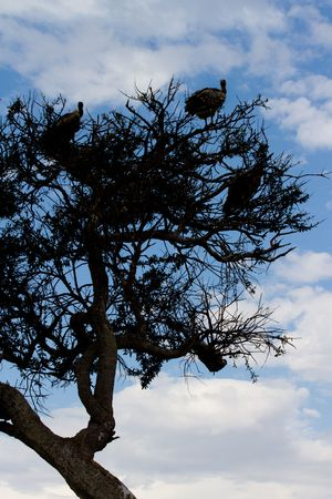 Vultures sitting in acacia tree, Masai mara national reserve kenya photo