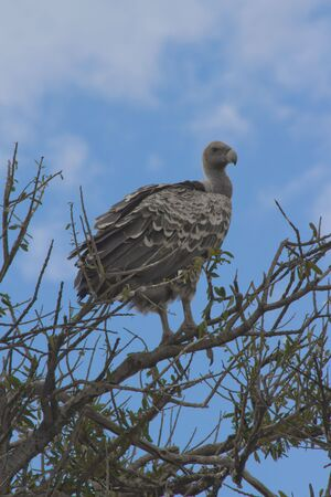 Vulture perched in acacia tree, Masai mara national reserve, kenya photo