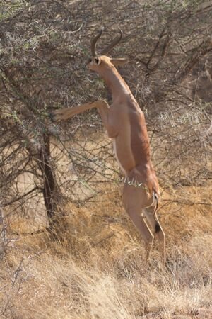 Characteristic feeding by gerenuk in Kenyan Samburu reserve photo