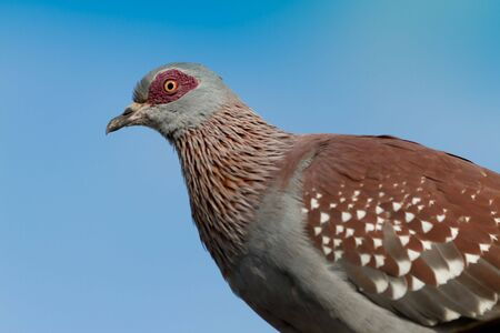 aberdares: Red eyed Pigeon against blue sky taken at Treetops camp Kenya Stock Photo