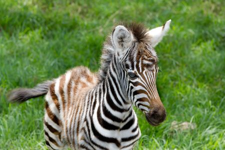 Baby zebra portrait at Lake nakuru national reserve. Horizontal photo