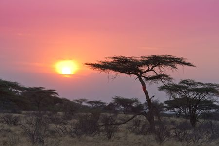 Acacia tree sunset Kenya in Samburu national reserve Stock Photo - 7918714
