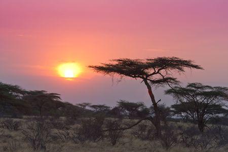 acacia tree: Acacia tree sunset Kenya in Samburu national reserve