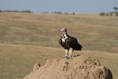 Lappet Faced Vulture on termite hill in Kenyas  Masai Mara. Horizontal. photo