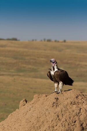 Lappet Faced Vulture on termite hill in Kenyas  Masai Mara. vertical photo
