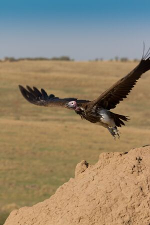Lappet Faced Vulture in flight in Kenyas  Masai Mara photo