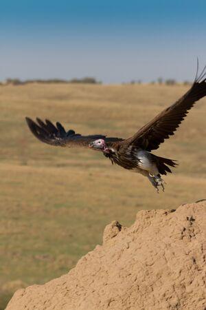Lappet Faced Vulture in flight in Kenyas  Masai Mara photo