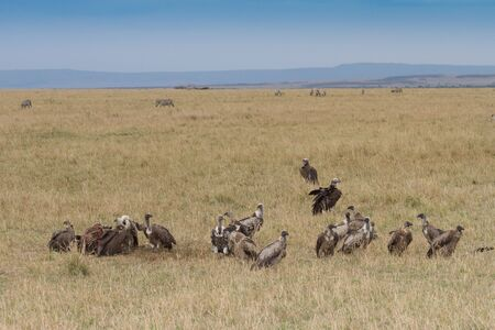Ruppells Griffon Vultures feeding on carcass in the Masai Mara. A committe or wake of vultures photo