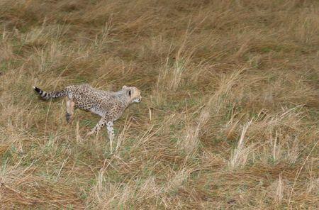 cheetah cub: Baby Cheetah cub learning to hunt Masai mara. kenya