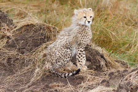 cheetah cub: Cute baby Cheetah cub sitting. fluffy fur, masai mara. kenya