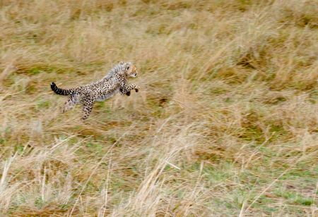 chita: Beb� Cheetah cachorro aprender a cazar Masai mara. Kenia  Foto de archivo