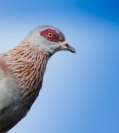 aberdares: Red eyed Pigeon portrait taken at Treeptops camp Kenya