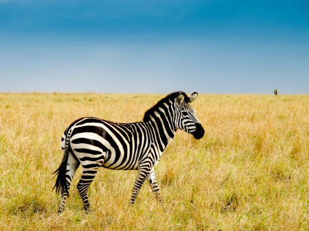 Burchells zebra on savannah plains of masai Mara national reserve kenya Stock Photo