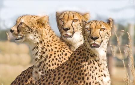 chita: Tres guepardos en Parque safari