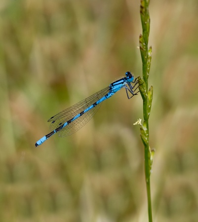 Blue damselfly against natural green meadow background photo