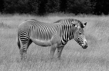 vertebrate animal: Grevys Zebra in grassland , black and white