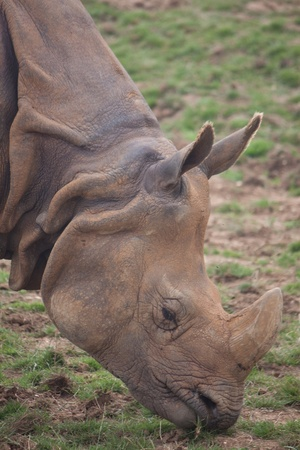 Big Horned Rhino photo