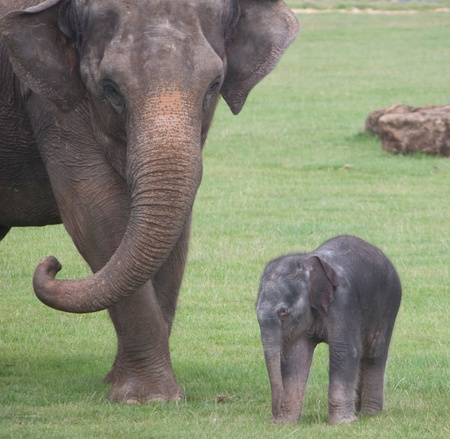 Asian elephant mother and baby photo