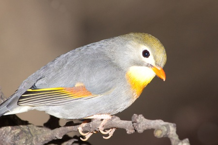 red billed leiothrix: pekin robin, also known as red-billed leiothrix, chinese nightingale