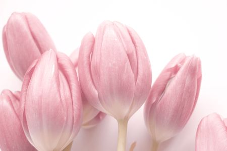 Spring flowers: tulips isolated