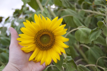sunflower background for different concepts, health, agriculture, ecology photo