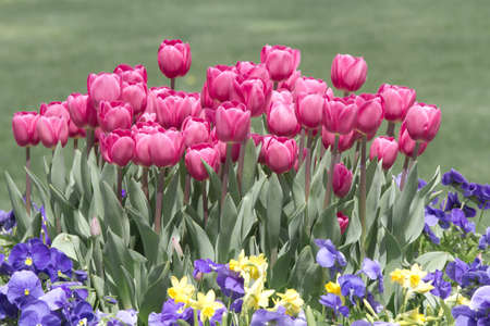 Tulips and flowers in garden