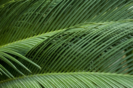cycadaceae: Leaves of palm tree Stock Photo