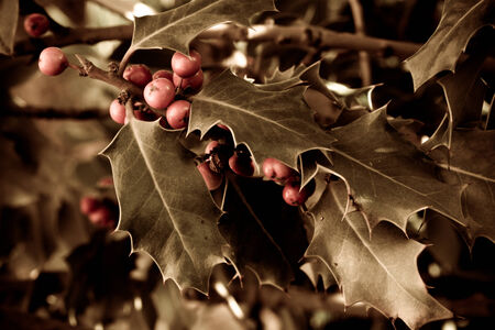 Holly bush with red berries with defocused