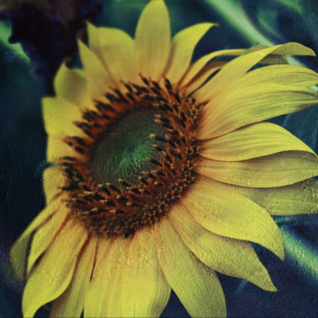 Sunflower With Textures