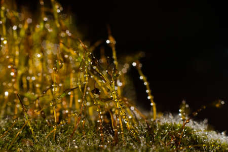 macroshot: forest moss with shiny dew drops on a dark background