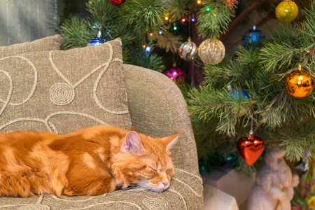 Cute young red cat of Maine Coon breed sleeping on the sofa in the living room interior next to a beautiful decorated Christmas tree