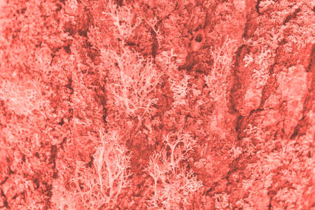 Color of the year 2019: Living Coral. Modern natural background or mock up with space for text. Texture of wood overgrown with lichen