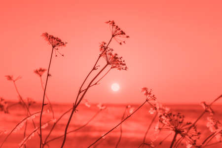 Winter landscape with dry frozen grass on the background of snow covered plain, sky and sun at sunset. Beautiful natural scenery in color of the year 2019 Living coral
