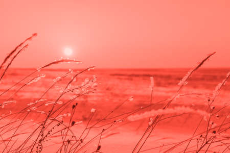 Winter landscape with dry frozen grass on the background of snow covered plain, sky and sun at sunset. Beautiful natural scenery in living coral color of the year 2019 Stock Photo